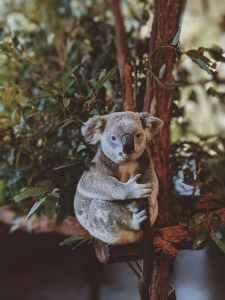 photo of gray koala bear hugging tree